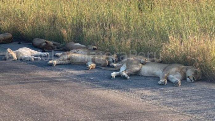 Leones De Sudáfrica Duermen En Carreteras A Falta De Turistas